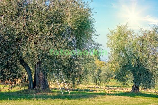 Фотообои Оливковый сад