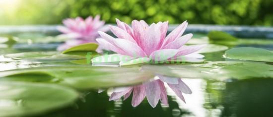Прекрасная лилия в пруду