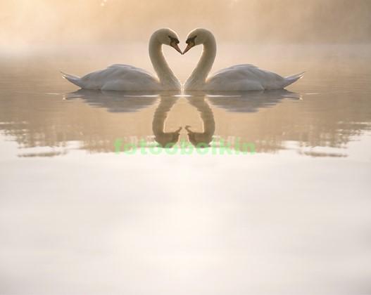 Фотообои Два лебедя плавают в озере