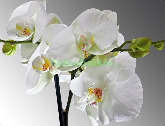3D ветка белой орхидеи