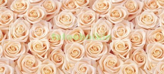 Ковер из светлых роз