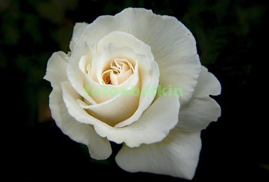 Фотообои Белая роза на черном фоне