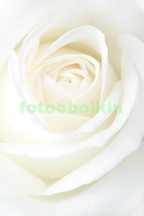 Белая роза с крупными лепестками