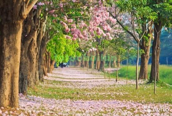 Сад с цветущими сакурами