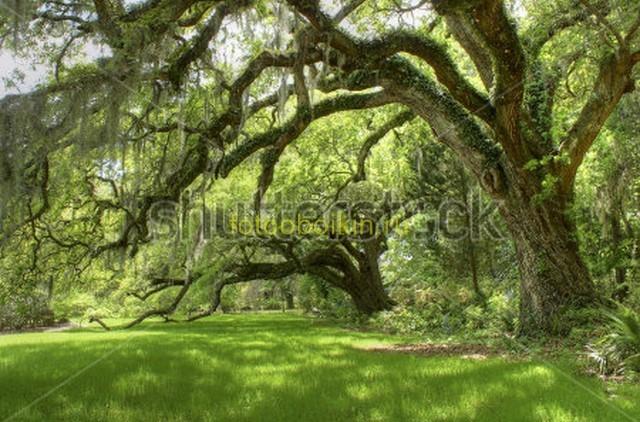 Большие зеленые деревья