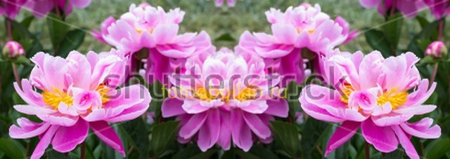 Фиолетово-розовые цветы