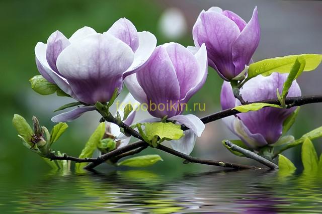 Фиолетовые цветы на воде