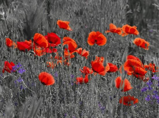 Поле с маками красными и сереневыми цветами