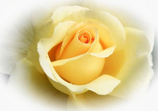 Роза желтая в тумане