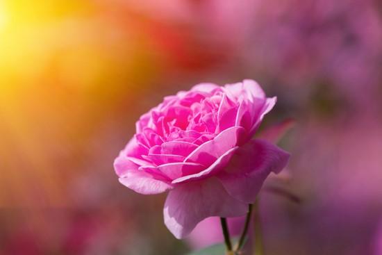 Роза розовая освещенная солнцем