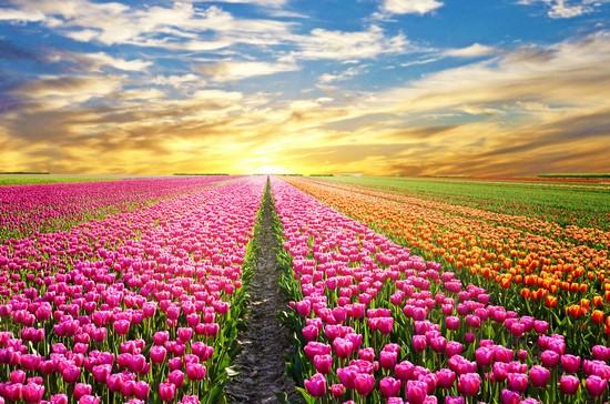 Поле из розовых цветов и небо