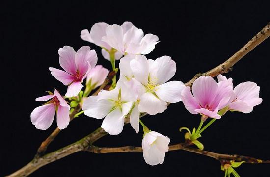 Цветы бело-розовые на ветке и черном фоне