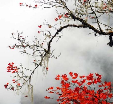 Ветка на сером фоне с ярко красными листьями