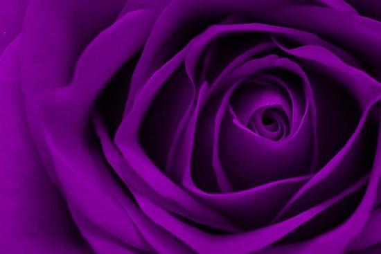 Фотообои Фиолетовая роза