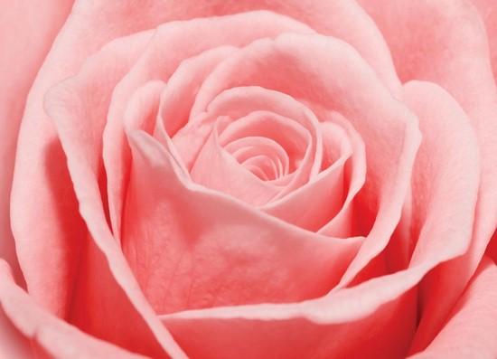 Нежная роза