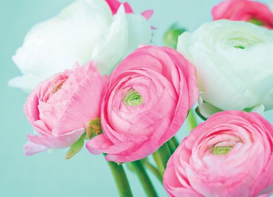 Розово-белые пионы на бирюзовом фоне