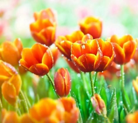 Тюльпаны оранжевые в траве