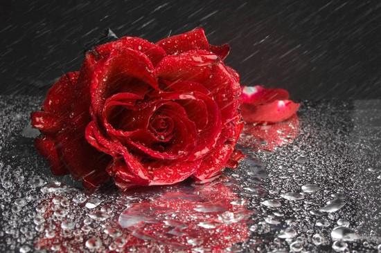 Розы красные на воде