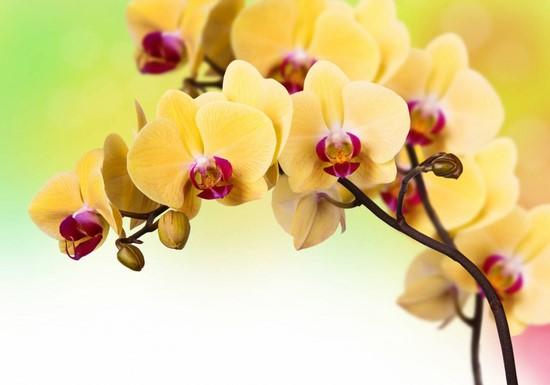 Фотообои Желторозовая орхидея