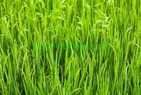 Светлая трава
