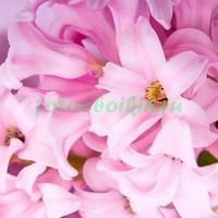 Розовый геацинт крупно