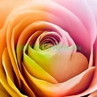 Эффектная роза