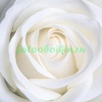 Невинная роза