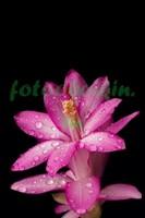 Розовый цветок в каплях