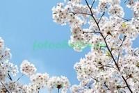 Сакура и небо