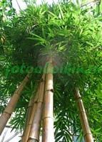 Бамбук вид снизу