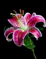 Пурпурная лилия