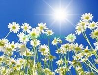 Ромашки и солнце