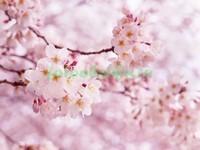 Весна и сакура