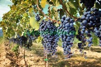 Виноградная лоза