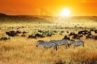Прогулка зебр