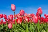 Тюльпаны на фоне неба