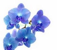 Синие орхидеи на белом фоне