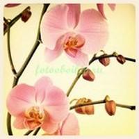 Розовые орхидеи на бежевом фоне