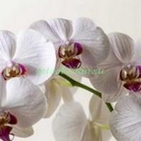 Крупные цветы орхидеи