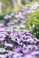 Луговые сиреневые цветы