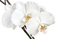 Белая орхидея белый фон