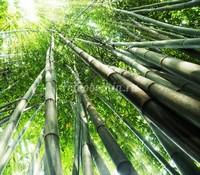 Высокий бамбук