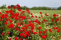 Красный мак в поле