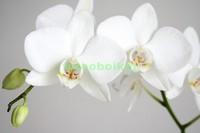 Белая орхидея с бутоном