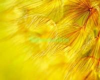 Желтый белый одуванчик