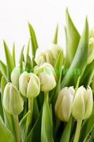 Белые нежные тюльпаны