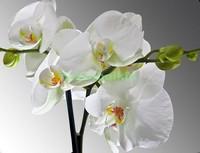 Белая орхидея на сером фоне