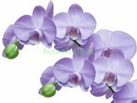 3D фиолетовая орхидея