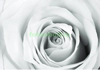 Белая роза в чб