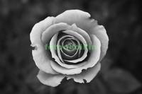 Одна белая роза